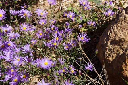 Paarse asters overleven de barre omstandigheden van de South Rim van het Grand Canyon National Park, Arizona