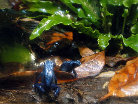 Poison arrow blue frogs in tropical setting  Imagens