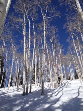 Bare apsens invierno blancos contra el cielo azul y la nieve, Steamboat Springs, Colorado Foto de archivo - 22828807