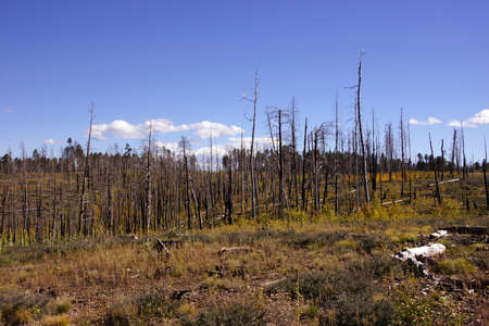 aftermath: Aftermath of forest fire of 2000,  Kaibab Plateau, Arizona