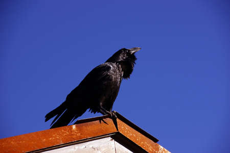 corax: Common raven, on roof in early morning, ( Corvus corax ) near the South Rim,at the Grand Canyon National Park, Arizona  Stock Photo