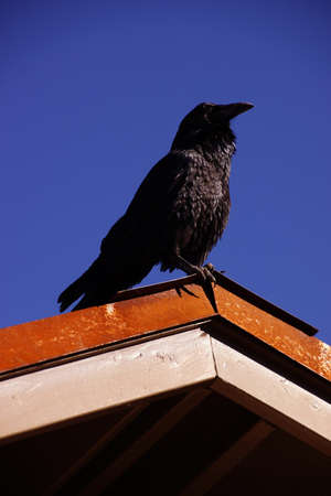 south rim: Common raven, on roof in early morning, ( Corvus corax ) near the South Rim,at the Grand Canyon National Park, Arizona