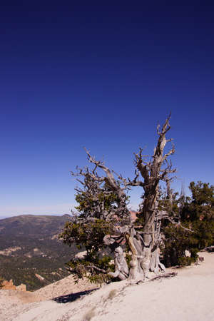 spectra: Great Basin bristlecone pine (Pinus longaeva),  on ridge of Spectra Point. The oldest living  organism, living for  thousands of years, Cedar Breaks National Monument, Utah