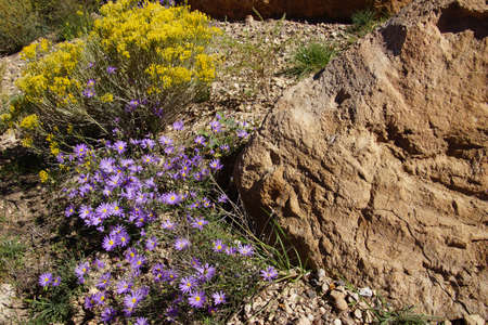 south rim: Purple asters survive the harsh conditions  of the South Rim at the Grand Canyon National Park, Arizona