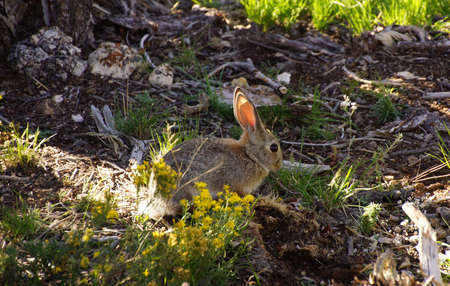 underbrush: Young rabbit, backlit in the underbrush along the Rim Trail at the Grand Canyon National Park, Arizona