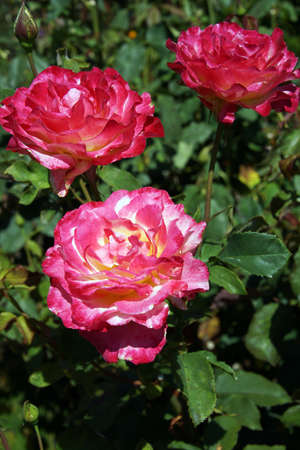 red pink: Red & pink roses in a Seattle garden, details