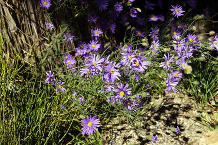 Purple asters survive the harsh conditions  of the South Rim at the Grand Canyon National Park, Arizona