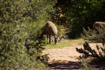 ovis: Rocky Mountain sheep  ( Ovis canadensis )  grazing in thick brush in    Zion National Park, Utah