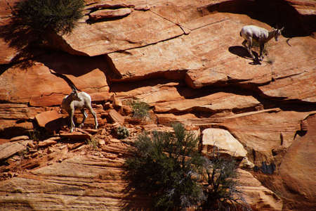 ovis: Rocky Mountain sheep  ( Ovis canadensis ) climbing on red sandstone cliffs in    Zion National Park, Utah