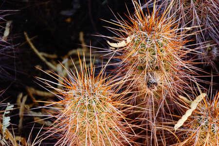 cholla: Spiny details of cholla cactus, Boyce Thompson Arboretum State Park, Arizona