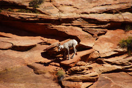 Rocky Mountain sheep  ( Ovis canadensis ) climbing on red sandstone cliffs in    Zion National Park, Utah
