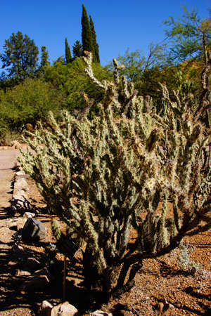 cholla: Buckhorn cholla  ( Cylindropuntia acanthocarpa )Boyce Thompson Arboretum State Park, Arizona
