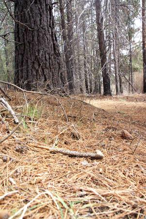 Pine cones on forest floor, among huge conifersDeschutes River trail,Central Oregon
