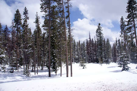 Late spring snow on pine forest,Central Oregon   photo