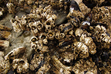 barnacles: Balani e cozze esposte sulle rocce del mare durante la bassa marea, su una spiaggia dell'Oregon vicino Otter Rock