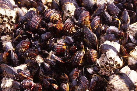 barnacles: Sfondo di mitili e cirripedi esposti durante la bassa marea nei pressi di Otter Rock, Oregon costa Archivio Fotografico