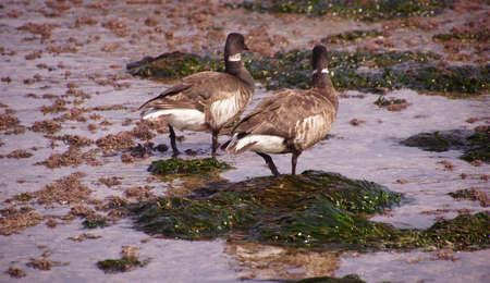 brent: Brant or Brent Goose  Branta bernicla  pair wading in tide pools at low tide  near Otter Rock, Oregon coast
