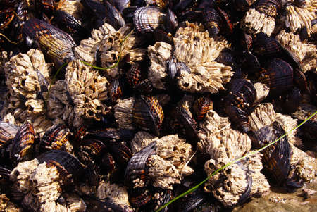 barnacles: Background of mussels and barnacles exposed at low tide  near Otter Rock, Oregon coast