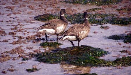 brent: Brant or Brent Goose (Branta bernicla) pair wading in tide pools at low tide  near Otter Rock, Oregon coast  Stock Photo