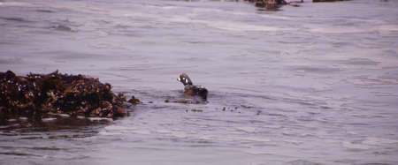 Harlequin Duck swimming in surf ( Histrionicus histrionicus  )  near Otter Crest on the Oregon coast A bird of fast-moving water, the Harlequin Duck breeds on fast-flowing streams and winters along rocky coastlines in the crashing surf.    Stock Photo