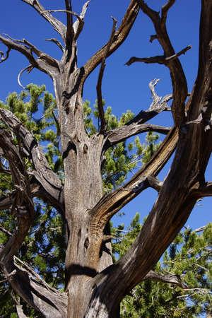 snag: Detail, Juniper snag, on the South Rim at the Grand Canyon National Park, Arizona