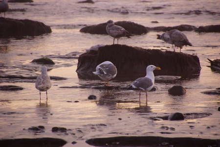 Seagulls foraging on the beach in the purple glow of sunset,  near Yaquina Head, Newport, Oregon coast   photo