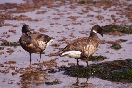 brent: Brant or Brent Goose (Branta bernicla) pair wading in tide pools at low tide  near Otter Rock, Oregon coast
