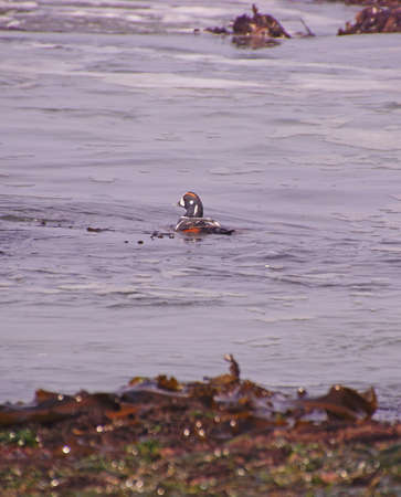 Harlequin Duck swimming in surf ( Histrionicus histrionicus  )  near Otter Rock on the Oregon coast A bird of fast-moving water, the Harlequin Duck breeds on fast-flowing streams and winters along rocky coastlines in the crashing surf.
