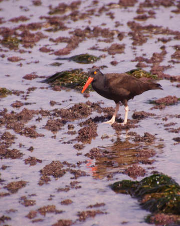 American oystercatcher walking in tide pools,  ( Haematopus palliatus )  near Otter Rock, Oregon coast Reklamní fotografie - 27973302