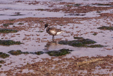 Brant or Brent Goose (Branta bernicla) pair wading in tide pools at low tide  near Otter Rock, Oregon coast   photo