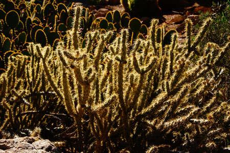 cholla: Cholla cactus, backlit spiny needles  in late afternoon sun, Boyce Thompson Arboretum State Park, Arizona