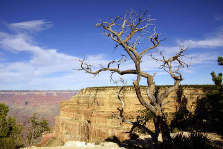 snag: Juniper snag, between Mohave Point and Hopi Point , late afternoon view  at the Grand Canyon National Park, Arizona