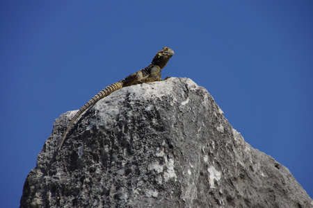 suns: Lizard suns itself on a rockin ancient Priene, Turkey