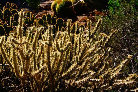 cholla: Cholla cactus, backlit spiny needles  in late afternoon sun, Boyce Thompson Arboretum State Park, Arizona  Stock Photo