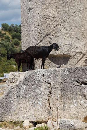Black goat walking along ancient cemetery tombs  Xanthus ( Xantos) , Turkey