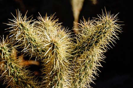 cholla cactus: Cholla cactus, backlit spiny needles  in late afternoon sun, Boyce Thompson Arboretum State Park, Arizona