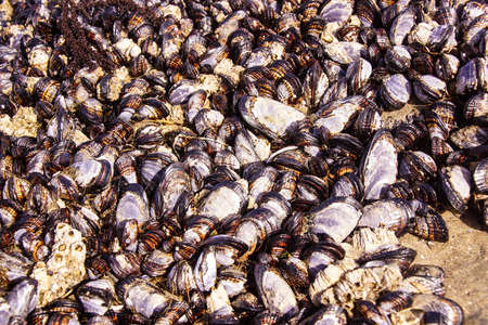 barnacles: California mussels and blue mussels growing among barnacles  exposed at low tide  near Otter Rock, Oregon coast Stock Photo