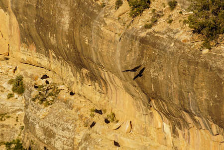 the aura: Turkey vulture ( Cathartes aura ) soaring on canyon thermals  on the South Rim Trail,at the Grand Canyon National Park, Arizona