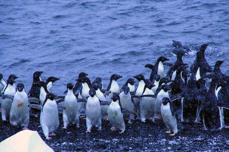 Koppel van Adelie pinguins, afkomstig uit het water
