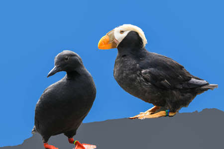 Tufted puffin, and Pigeon Guillemot (Lunda cirrhata) ,  (Cepphus columba) Aquarium, Newport, Oregon coast