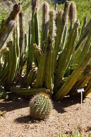 the arboretum: Senita cactus ( Pachycereus shottii )Boyce Thompson Arboretum State Park, Arizona