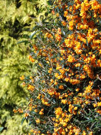victoria bc: Detail, spring shrubs in bloomBeacon Hill Park, Victoria, BC, Canada