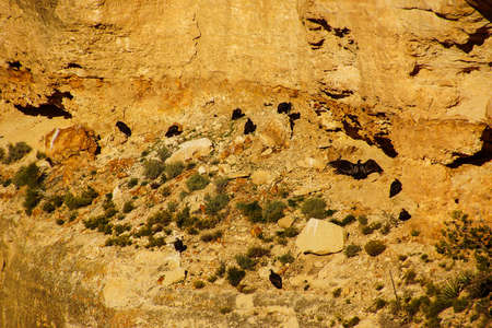 the aura: Turkey vultures ( Cathartes aura ) roosting on canyon cliffs on the South Rim Trail,at the Grand Canyon National Park, Arizona