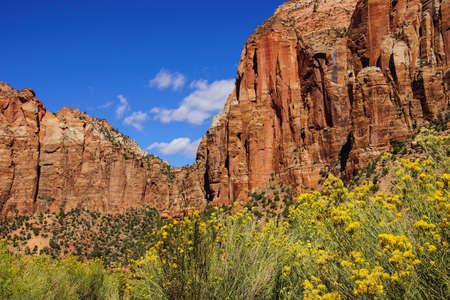 yellow wildflowers: Yellow wildflowers and sandstone mountains Zion National Park, Utah