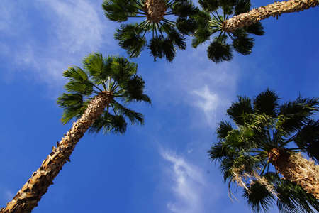 fronds: Desert palm tree with green fronds against bright blue sky,  Rancho Mirage, California