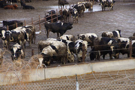inhumane: Black and white cows crowded in a muddy feedlot,Central valley, California Stock Photo