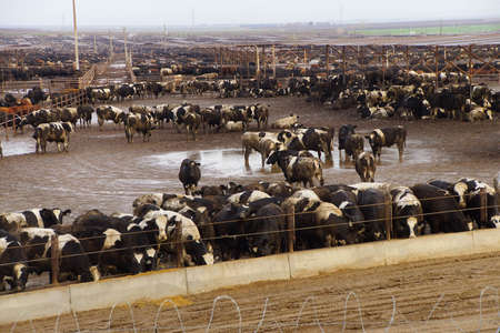 Black and white cows crowded in a muddy feedlot,Central valley, California 스톡 콘텐츠