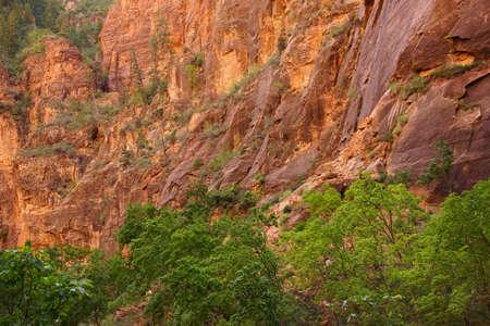 cottonwood tree: Bright green cottonwoods against red sandstone cliffs along the Virgin RiverZion National Park,  Utah