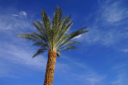 a mirage: Desert palm tree with green fronds against bright blue sky,  Rancho Mirage, California