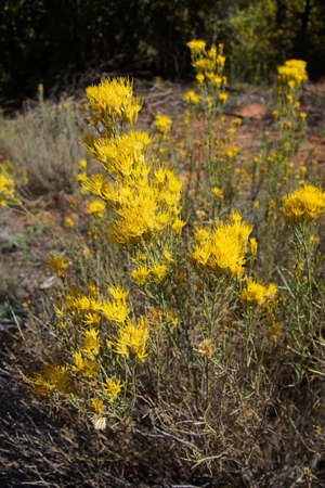 Yellow wildflowers along the riverbed  along the Taylor Creek trail, Kolob Canyon, Zion National Park, Utah photo
